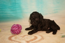Raptor Male CKC Miniature Poodle $2000 Ready 8/20 HAS DEPOSIT MY NEW HOME ST PETE, FL 2lbs 2.4oz 4W5D Old
