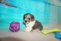 Sweetie Female CKC Havapoo $2000 Ready 8/16 HAS DEPOSIT MY NEW HOME JACKSONVILLE, FL 1 Lb 5oz 5W2D Old
