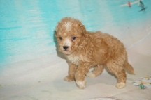 Wall-e Male CKC Bichonpoo A/K/A Poochon $2000 Ready 8/22 HAS DEPOSIT MY NEW HOME BRADENTON, FL 1lb 10oz 4W5D old