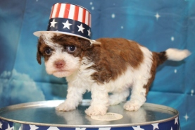 Wolfe (Rudy) Male CKC Havapoo $2000 Ready 7/22 HAS DEPOSIT MY NEW HOME FERNANDINA BEACH, FL 1lb 9oz 5 Weeks Old