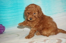 Woody (Max) Male CKC Mini Labradoodle $2000 Ready 7/30 SOLD MY NEW HOME JACKSONVILLE, FL 2 lbs 5 oz 5W4D Old