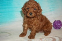 Zurg (Cooper) Male CKC Mini Labradoodle $2000 Ready 7/30 SOLD MY NEW HOME JACKSONVILLE, FL 2 lbs 13 oz 5W4D Old