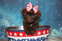 Bella (Cocoa) Female CKC Maltipoo $2000 Ready 7/2 SOLD NEW HOME SMYRNA, GA 2lb 6oz 7W5D old