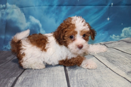 Buddy Male CKC Maltipoo $2000 Ready 7/2 SOLD NEW HOME TAMPA, FL 2lb 8oz 7W5D old