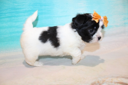 Button Female CKC Malshi $2000 Ready 8/8 HAS DEPOSIT MY NEW HOME NY 1 Lb 15.5 oz 5W3D Old