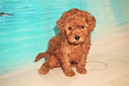 Buzz Lightyear (Kolby B) Male CKC Mini Labradoodle $2000 Ready 8/21 HAS DEPOSIT MY NEW HOME JACKSONVILLE, FL 2LB 4oz 5W4d Old
