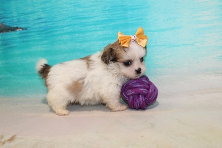 GiGi Female CKC Havashu $2000 Ready 8/5 SOLD MY NEW HOME JACKSONVILLE, FL 1Lb 8oz 6 Weeks Old