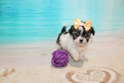Kiki (Chippy) Female CKC Havashu $2000 Ready 8/5 SOLD MY NEW HOME JACKSONVILLE, FL 1 Lb 5 oz 7 Weeks Old