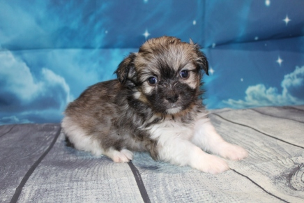 Peter Male Miki $2000 Ready 7/17 SOLD MY NEW HOME ST JOHNS, FL 2lbs 5oz 5W3D Old