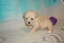 Ruby Female CKC Maltipoo $2000 Ready 8/22 HAS DEPOSIT MY NEW HOME LITHIA. FL 1 Lb 4oz 4W3D Old