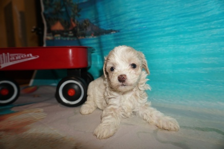Sugar (Penelope) Female CKC Havapoo $2000 Ready 8/16 HAS DEPOSIT MY NEW HOME JACKSONVILLE, FL 1 lb 4oz 5W2D Old