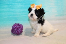 Bubbles Female CKC Malshi $2000 Ready 8/8 HAS DEPOSIT MY NEW HOME NY 1lb 8oz 5W3D Old