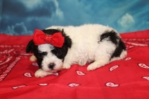 Celene Female CKC Shihpoo $2000 Ready 8/1 HAS DEPOSIT MY NEW HOME GAINESVILLE, FL 14Ooz 3W3D Old