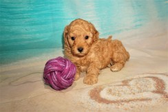 Cobra Male CKC Miniature Poodle $2000 Ready 8/20 HAS DEPOSIT MY NEW HOME JACKSONVILLE, FL 2lbs 9.2oz 4W5D Old
