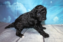 Coffee Male CKC Maltipoo $1750 Ready 7/25 SOLD MY NEW HOME IS ST LUCIE, FL 2lbs 6 oz 4W2D Old