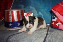 Kiki (Chippy) Female CKC Havashu $2000 Ready 8/5 HAS DEPOSIT MY NEW HOME JACKSONVILLE, FL 1Lb 2oz 3W6D Old