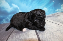 Nescafe (Percy) Male CKC Maltipoo $1750 Ready 7/25 SOLD BIRMINGHAM, AL 1 LB 14 OZ 4W2D Old