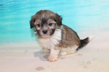 Jack Jack (Cappuccino) Male CKC Havashu $2000 Ready 8/5 SOLD MY NEW HOME STATEN ISLAND, NY 1lb 7.5oz 6 Weeks Old