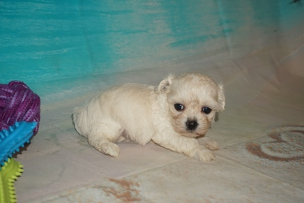 Pearl Female CKC Maltipoo $2000 Ready 8/22 HAS DEPOSIT MY NEW HOME ST SIMON ISLAND, GA 1 Lb 2oz 4W3D Old