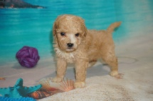 Captain B Male CKC Bichonpoo A/K/A Poochon $2000 Ready 8/22 HAS DEPOSIT MY NEW HOME 1 Lb 6oz 4W5D Old