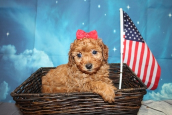 Erica Female CKC Mini Labradoodle $2000 Ready 7/16 SOLD MY NEW HOME Yulee, FL 2lbs 3oz 5W5D Old