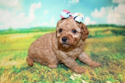 Belle Female Cavapoo $2000 Ready 9/4 HAS DEPOSIT MY NEW HOME JACKSONVILLE, FL 1LB 7oz 3W5D OLD