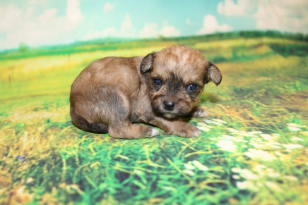 Hotdog Male CKC Shorkipoo $2000 Ready 9/10 HAS DEPOSIT MY NEW HOME ST JOHNS, FL 14oz 2W6D OLD