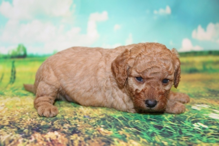John (Marty) Male Cavapoo $2000 Ready 9/4 HAS DEPOSIT MY NEW HOME JACKSONVILLE, FL 2 lbs 3W5D old