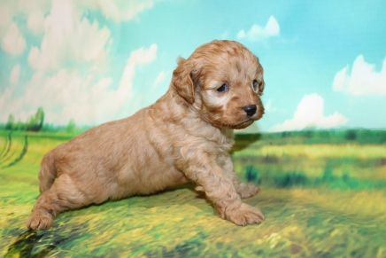 Peter Pan Male Cavapoo $2000 Ready 9/4 HAS DEPOSIT MY NEW HOME OCOEE, FL lb 11oz 3W5D old