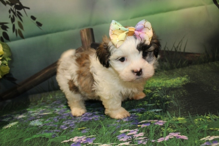 Pippa (Tizzee) Female CKC Havashu $2000 Ready 8/24 SOLD MY NEW HOME MAYO, FL 2lb 5oz 7 Weeks Old