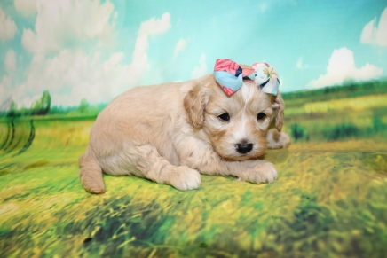 Wendy Female Cavapoo $2000 Ready 9/4 HAS DEPOSIT MY NEW HOME ATLANTIC BEACH, FL 1LB 11.5oz 3W5D OLD