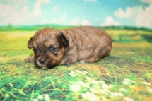 Hamburger Male CKC Shorkipoo $2000 Ready 9/10 HAS DEPOSIT MY NEW HOME PONTE VEDRA, FL 15.5 oz 2W6D OLD