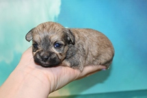 Lamb Chop Female CKC Shorkipoo $2000 Ready 9/10 HAS DEPOSIT MY NEW HOME DENVER, CO 13oz 2W6D OLD