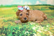 Nutmeg Female CKC Miniature Poodle $2000 Ready 9/7 HAS DEPOSIT MY NEW HOME BOWLING GREEN, KY 15.5oz 2W6D Old