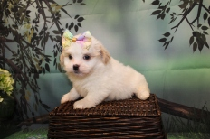Penelope Female CKC Havashu $2000 Ready 8/24 HAS DEPOSIT MY NEW HOME JACKSONVILLE, FL 2lb-3.5oz 7 Weeks Old
