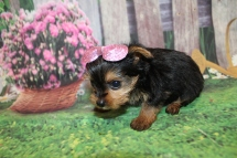 Polly (Lucy) Female CKC Yorkie $2000 Ready 9/3 HAS DEPOSIT MY NEW HOME FLAGER BEACH, FL 14.5 oz 6 Weeks Old
