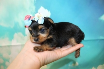 Polly (Lucy) Female CKC Yorkie $2000 Ready 9/3 HAS DEPOSIT MY NEW HOME FLAGER BEACH, FL 14.5 oz 3W6D Old