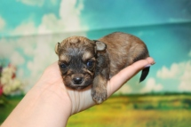 Ribeye Male CKC Shorkipoo $2000 Ready 9/10 HAS DEPOSIT MY NEW HOME RICHMOND, VA 10oz 2W6D OLD