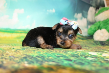 Dolly (Sasha) Female CKC Yorkie $2000 Ready 9/3 HAS DEPOSIT MY NEW HOME JACKSONVILLE, FL 15 oz 3W6D Old
