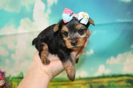 Molly Female CKC Yorkie $2000 Ready 9/3 HAS DEPOSIT MY NEW HOME PONTE VEDRA, FL 15 oz 3W6D Old