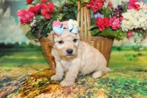 Tink Female Cavapoo $2000 Ready 9/4 HAS DEPOSIT MY NEW HOME FERNANDINA BEACH, FL 1LB 6oz 3W5D OLD