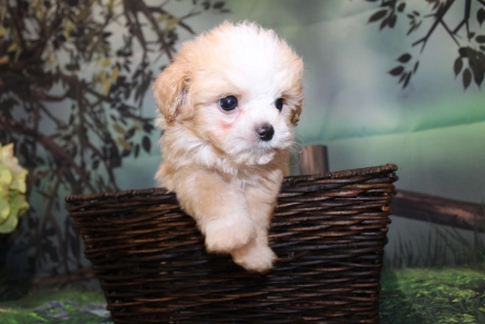 Uno Male CKC Shihpoo $2000 Ready 8/19 SOLD MY NEW HOME JACKSONVILLE, FL 1lb 2.5 oz 7 Wks Old