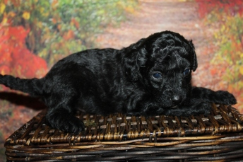 Baby Ruth Male CKC Mini Labradoodle $2000 Ready 10/23 HAS DEPOSIT MY NEW HOME WHITEHOUSE STATION, NJ 1lb 8oz 4 Weeks old