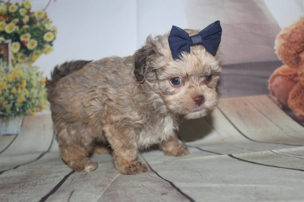 Bella Female CKC Shihpoo $2000 Ready 8/1 HAS DEPOSIT MY NEW HOME JACKSONVILLE, FL 1lb 14oz 5W5D Old