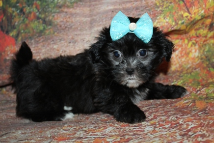 Binky Female CKC Shihpoo $2000 Ready 9/29 HAS DEPOSIT MY NEW HOME TAMPA, FL 2 lbs 7.5 oz 7W1D Old
