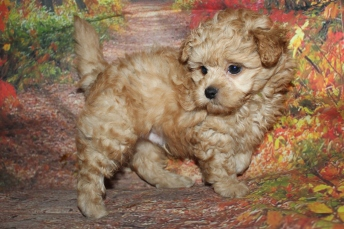 Buckaroo Male CKC Shihpoo $2000 Ready 9/29 HAS DEPOSIT MY NEW HOME TAMPA, FL 3 lbs 7W1D Old