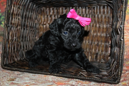Hershey Female CKC Mini Labradoodle $2000 Ready 10/23 HAS DEPOSIT MY NEW HOME JACKSONVILLE FL 1lb 6oz 4 Weeks old