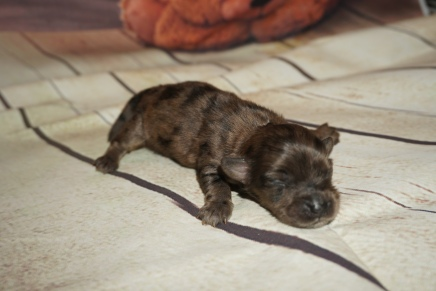 Hippy Male CKC Havapoo $2000 Ready 11/6 HAS DEPOSIT MY NEW HOME TAMPA, FL 6.5oz 4 days old