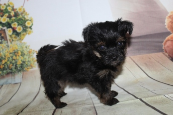 Lance Male CKC Havashire $2000 Ready 9/24 HAS DEPOSIT MY NEW HOME PONTE VEDRA, FL 1lb 2 oz 6 Weeks Old