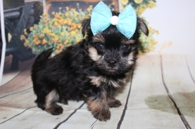 Lily Female CKC Havashire $2000 Ready 9/25 HAS DEPOSIT MY NEW HOME PORT ORANGE, FL 1lb 5 oz 6 Weeks Old